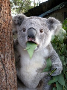 koala_shock_funny-224x300